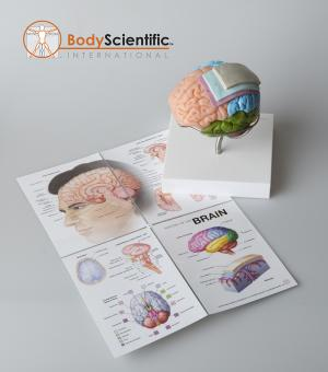 Anatomical Brain Model