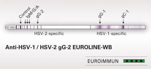Anti-HSV-1/HSV-2 gG-2 EUROLINE-WB
